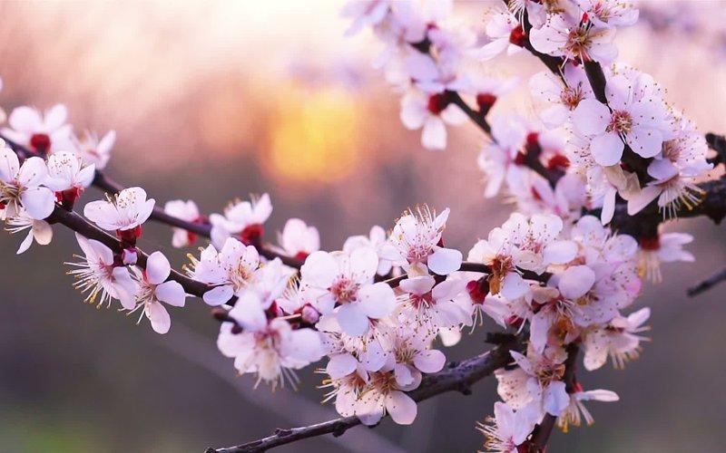 5月に咲くニセコの桜の花