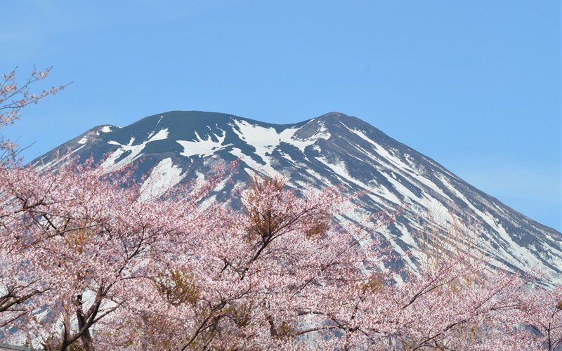 Sakura with Mt. Youtei