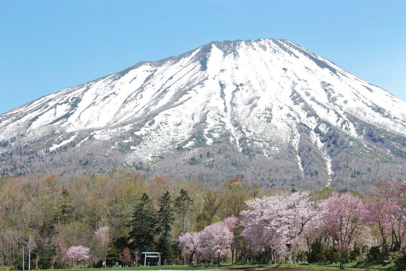 真狩神社の桜並木と羊蹄山