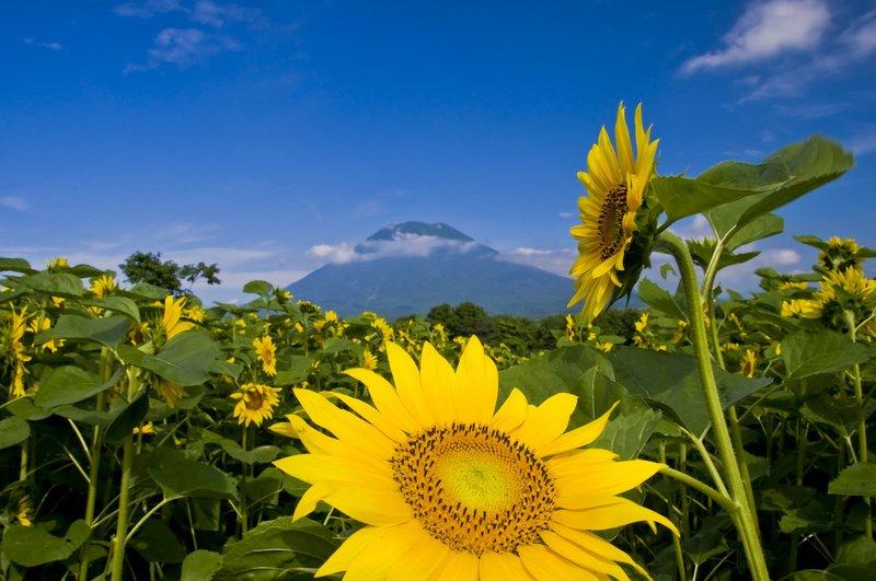 yotei summer sunflower niseko