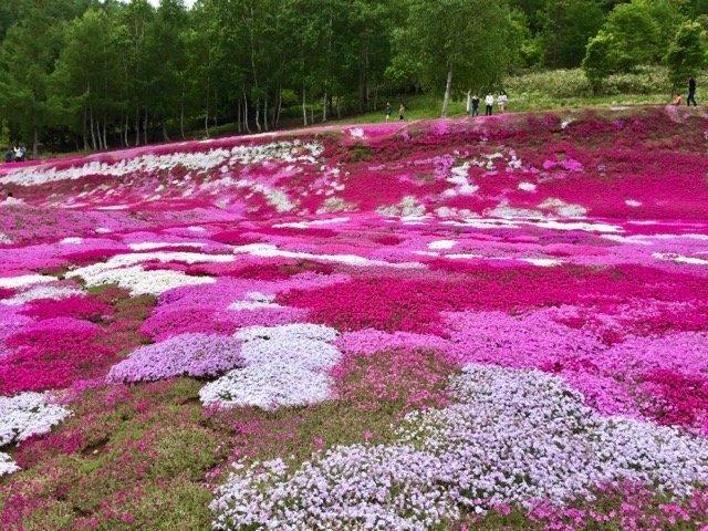 一面満開の芝桜の庭