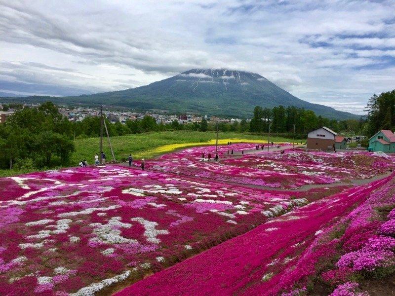 倶知安町の芝桜と羊蹄山