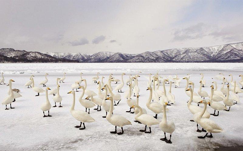 Frozen Lake Kussharo with Swan Flock Hokkaido