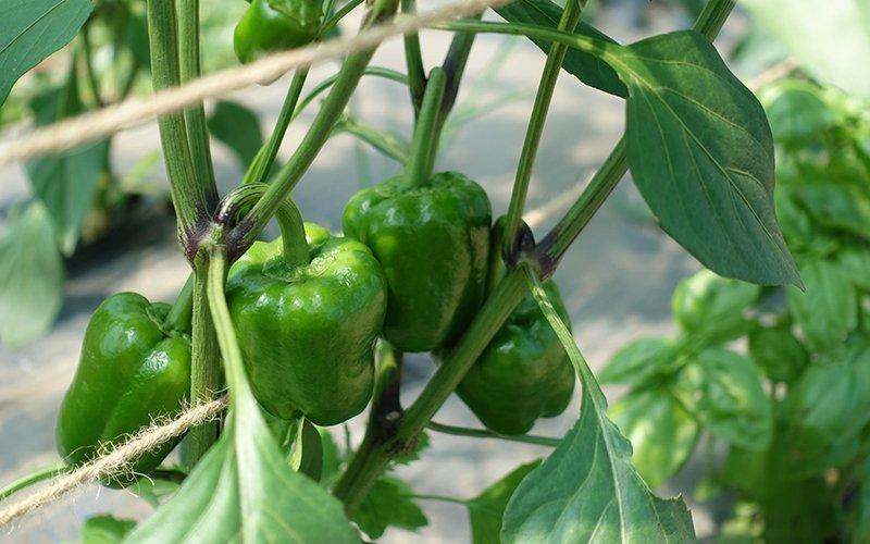 niseko green farm bell pepper plant