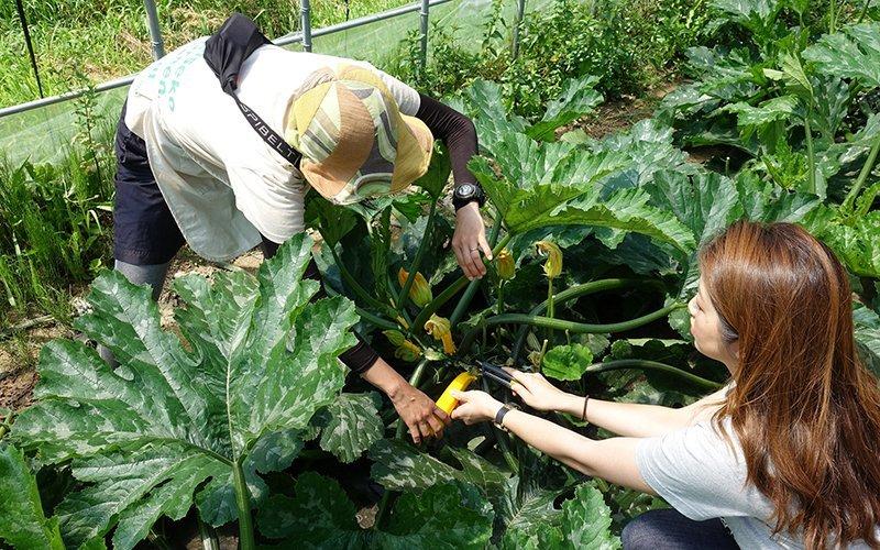 harvesting fresh vegetables at niseko green farm