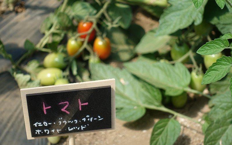 fresh tomatoes growing at niseko green farm