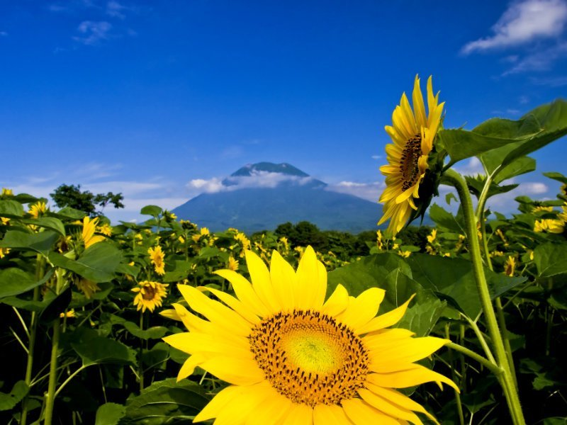 Niseko sunflower