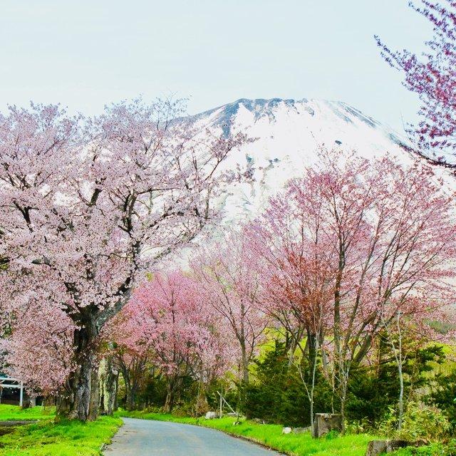 Sakura mt youtei medium